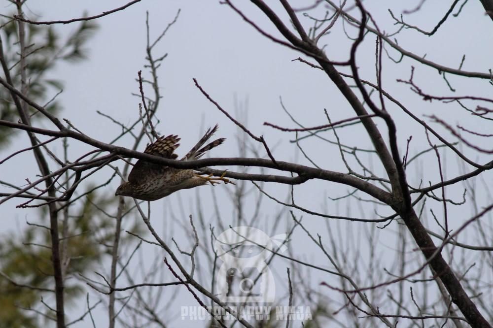 Hawk searching for birds